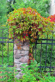 Wild grapes with leaves begins to redden on a stone fence post