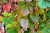 Abstract background. Colorful leaves of wild grapes in autumn.