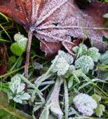 Hoarfrost on a grass and a dry leaf of a maple after morning fro