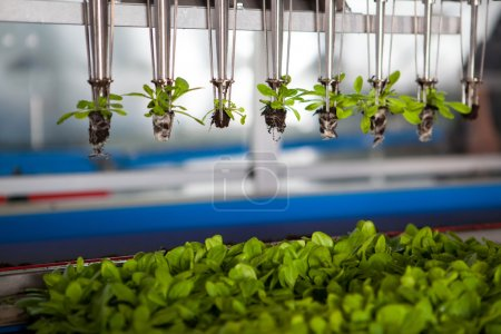 Mechaniczne sadzenia sadzonki.