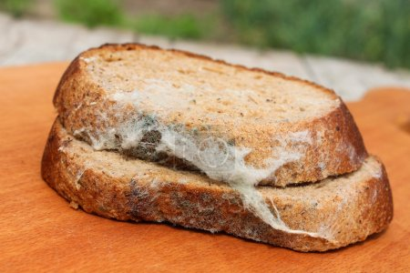 The old black mold on the bread. Spoiled food. Mold on food.