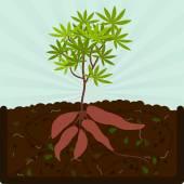 Planting manioc and compost
