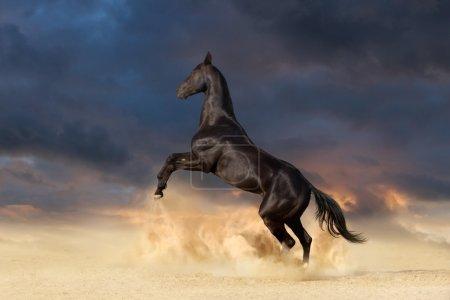 Black horse rearing up