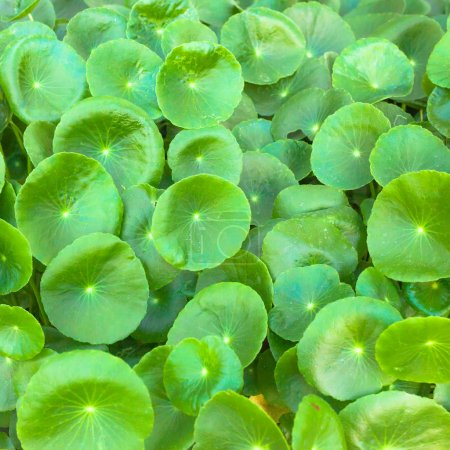 Asiatic Pennywort  is a plant that indicated in the treatment of