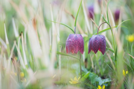Fritillaria meleagris is a species of flowering pl...