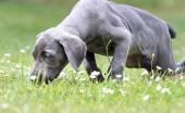 Weimaraner puppy smelling flowers.