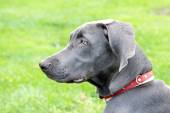 Close up of young female Weimaraner.