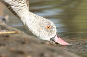 Cape teal (Anas capensis).