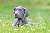 Young female weimaraner resting outside