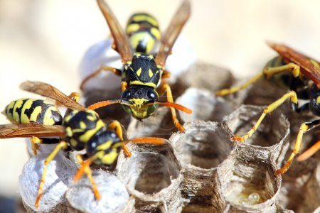 Wasps (Polistes gallicus) in the nest....