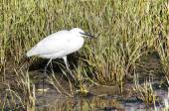 Snowy Egret (Egretta thula).