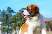 Saint Bernard dog.