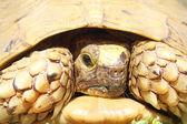 Spur thighed turtle (Testudo graeca).