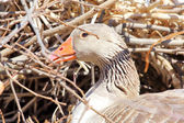 Domestic goose (Anser anser domesticus) on its nest.