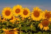 Krásné slunečnice pole při západu slunce