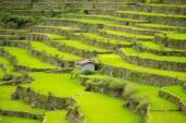Rice Teraszok a Fülöp-szigeteken. Északon a rizstermesztés