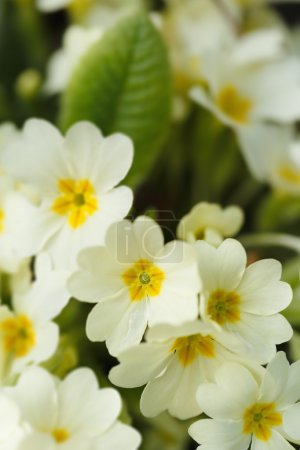 Common primroses in bloom