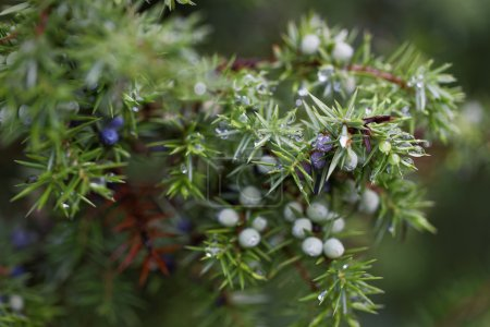 Photo for Water drops on juniper berries close up - Royalty Free Image