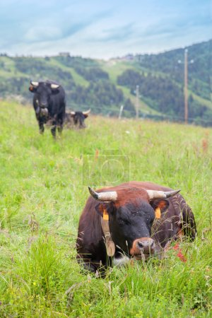Cows rests on green grass