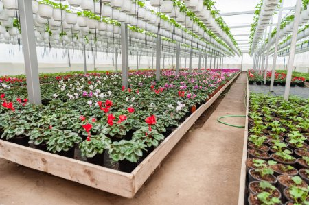 Flower culture in a greenhouse