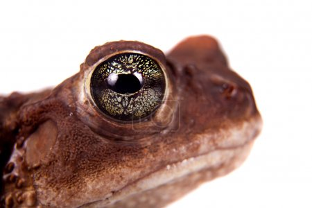 The cuban toad, Bufo empusus, on white