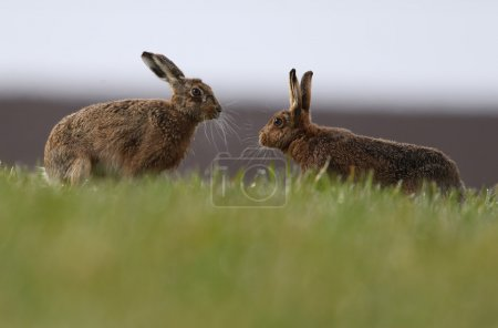 "Photo for Mad March Hares! European or Brown Hares (Lepus europaeus) ""boxing"". Activity usually between a female and a male during courtship. On farmers dew soaked field. - Royalty Free Image"