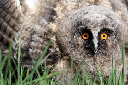 A Natural, Wild Long-eared Owlet (Asio otus) portrait. Showing display posture. Taken in the Angus Glens, Scotland, UK.