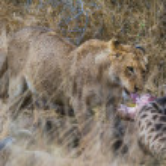 Lions feeding on a fresh kill giraffe, Kruger Nati...