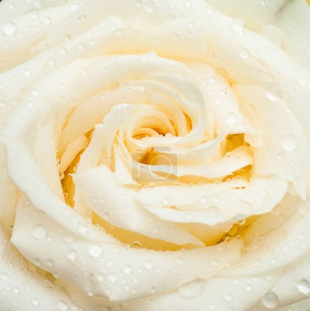 White rose with drops