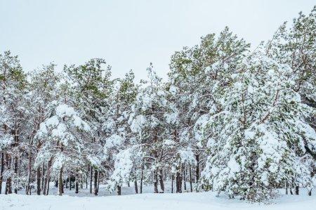 Foto de Año nuevo arbol en bosque de invierno. Paisaje de invierno hermosa con nieve cubierto árboles. Árboles cubiertos de escarcha y nieve. Paisaje de invierno hermosa. Rama de árbol cubierto de nieve. Fondo de invierno - Imagen libre de derechos