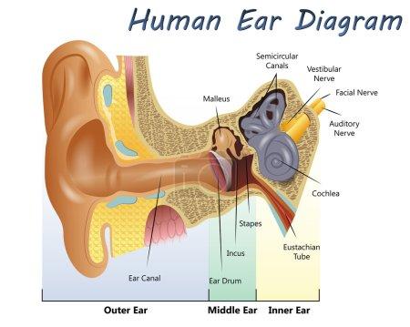 Illustration for Illustration of a Human Ear Diagram - Royalty Free Image