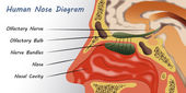 Emberi orr Diagram