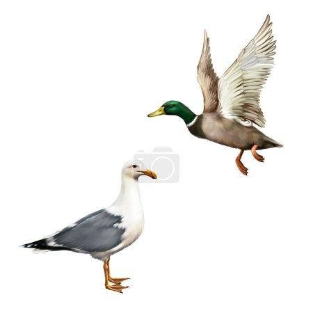 Male Mallard Duck and seagull