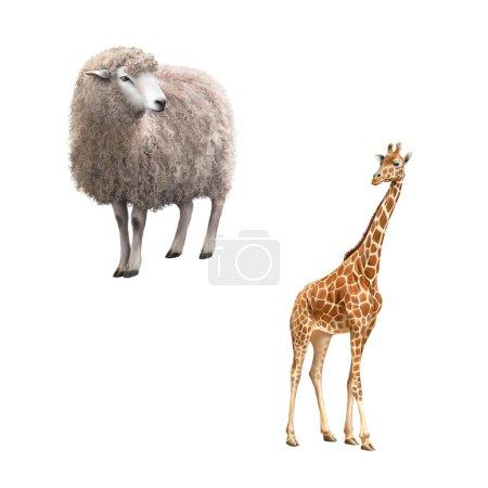 Foto de Hermosa jirafa adulta mirándonos, ilustración aislada en blanco - Imagen libre de derechos