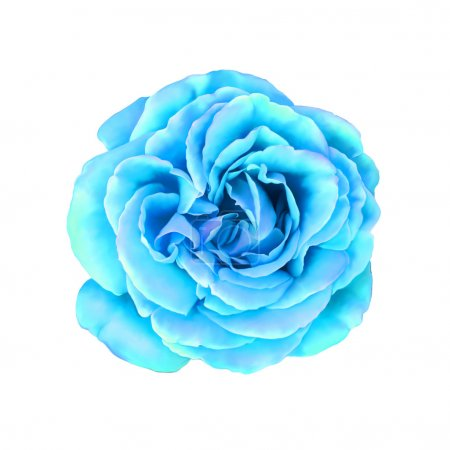 Blue turquoise Rose Flower