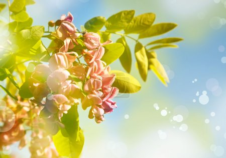 acacia à belles fleurs rose