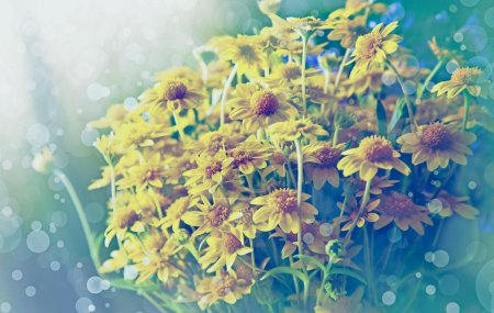 Yellow chamomile flowers in the nature, meadow of ...