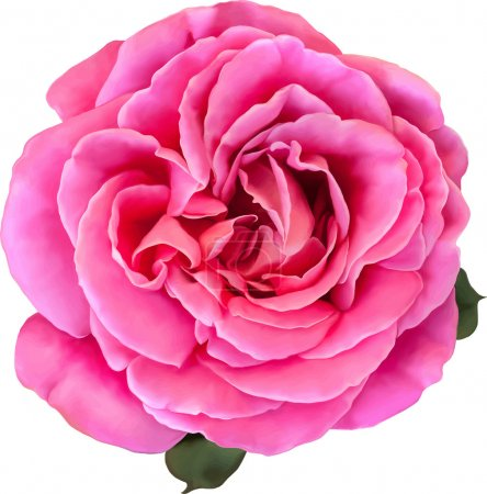 Pink Rose Flower isolated on white background. Vector illustration