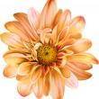 Постер, плакат: Orange chrysanthemum flower