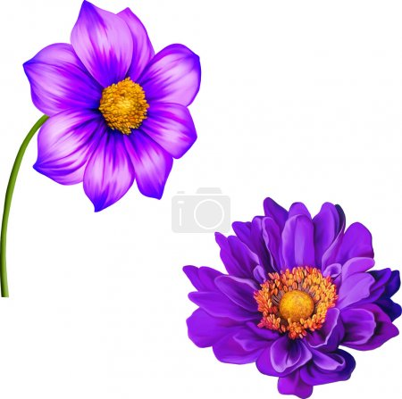Illustration pour Fleur de Joconde Violette, illustration de Fleur de Dahlia Violette, Fleur de Printemps. Isolé sur fond blanc . - image libre de droit