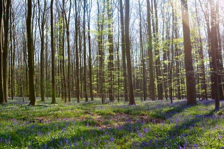 Photo pour Belle forêt de source avec le tapis des jacinthes sauvages ou des fleurs sauvages de jacinthes un jour ensoleillé, Belgique, Halle - image libre de droit