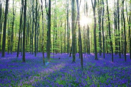 Photo pour Belle forêt printanière avec tapis de jacinthes sauvages ou de jacinthes sauvages par une journée ensoleillée, Belgique, Halle - image libre de droit