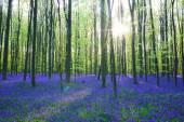 Beautiful bluebells forest