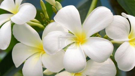Photo pour Plumeria spp. (fleurs frangipani, Frangipani, Pagode ou Temple) sur fond naturel - image libre de droit
