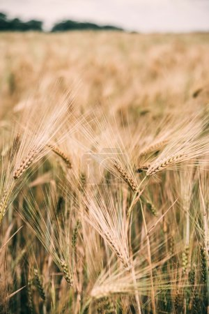 wheat field  landscape, farm, sky
