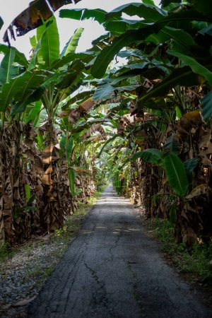 Photo for Banana plantation with old tar road in Malaysia. - Royalty Free Image