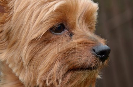 Photo for Close view Profile picture of the dog head Yorkshire terrier - Royalty Free Image