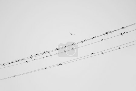 Photo for Flock of Tits sits on electrical wires against sky. Black and white photo - Royalty Free Image
