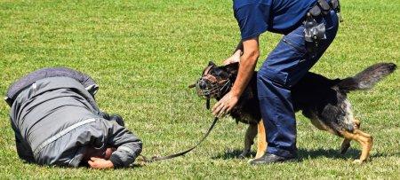 Police dog in training