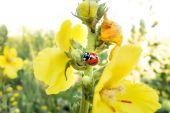 Beruška na žluté květině